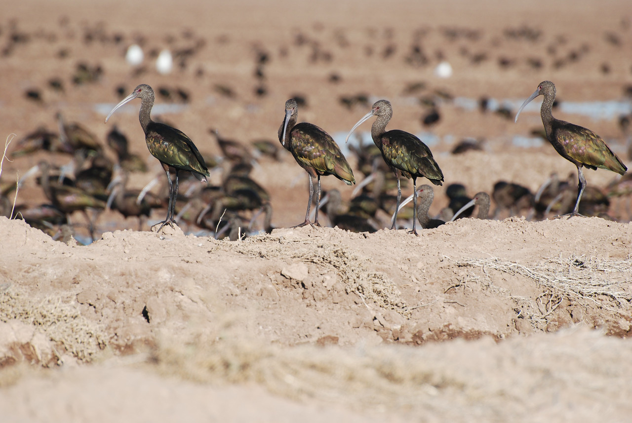White-faced Ibis. This was taken in So. California where Ibis winter in large flocks and feed on crickets and other insects emerging from cracks in the dry earth, forced to the surface by flood irrigation.