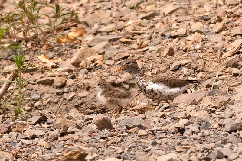 Spotted Sandpiper w/ chick