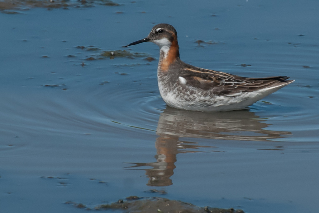 Red-necked Phalarope female on Costco pond, Yakima. In Phalarope's, except for egg laying, the roles of the sexes is reversed from that of most species.The female has the colorful plumage and the male is rather drab. The female lays the eggs and leaves the male to incubate and raise the chicks.