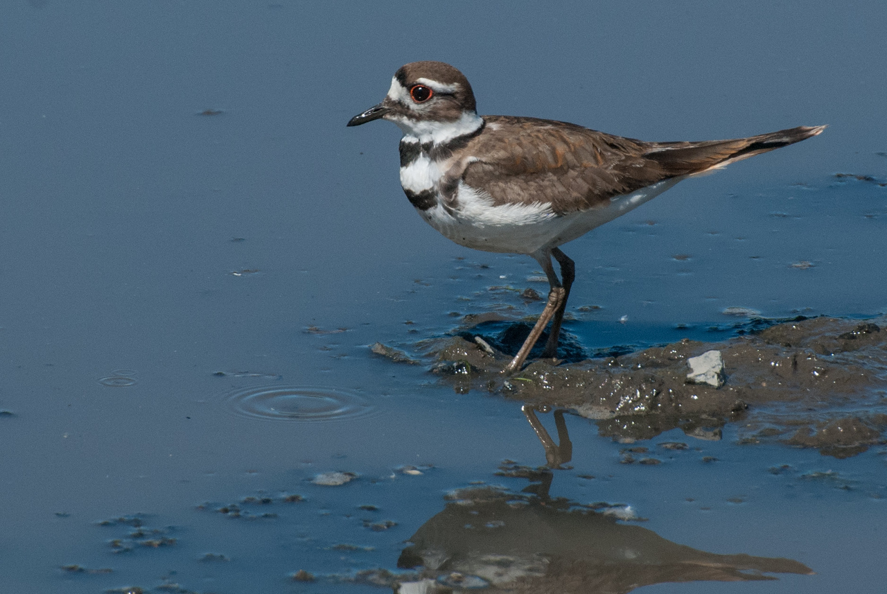 Killdeer adult