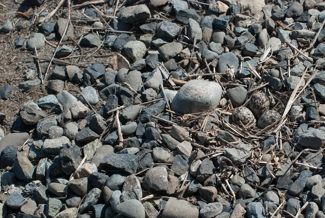 Killdeer nest with three eggs.