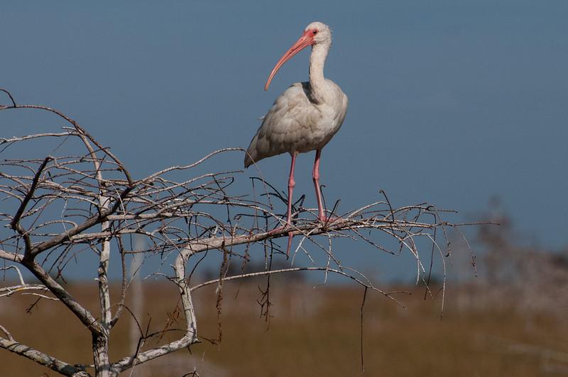 White Ibis, Florida Everglades