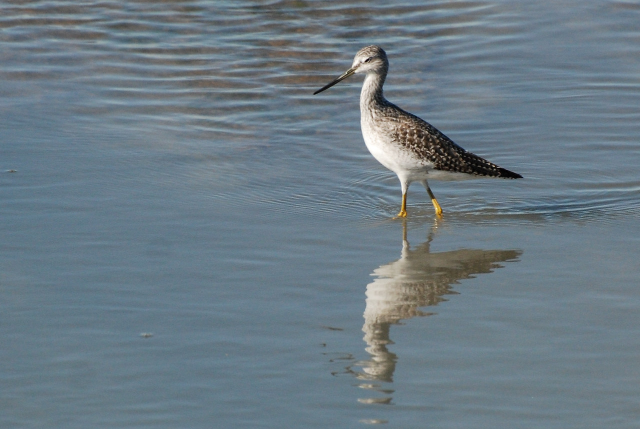 Greater Yellowlegs, Salton Sea