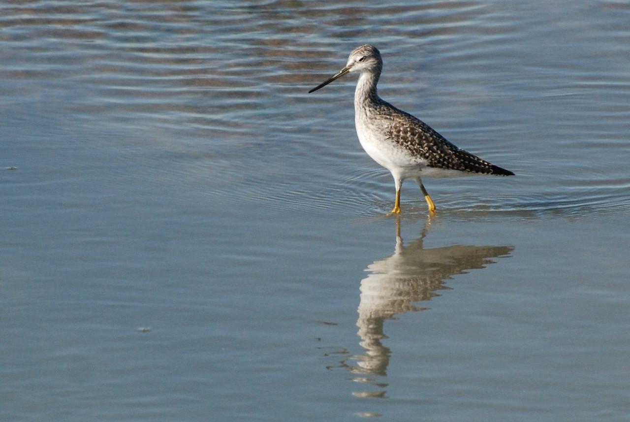 Greater Yellowlegs, Salton Sea