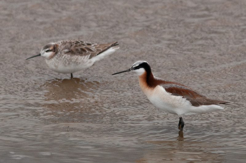 Wilson's Phalarope, pair. The male is on the left. In Phalarope's, except for egg laying, the roles of the sexes are reversed from that of most species.The female has the colorful plumage and the male is rather drab. The female lays the eggs and leaves the male to incubate and raise the chicks.