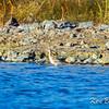 Giroux Quarry, Hudsonian godwit: Limosa haemastica