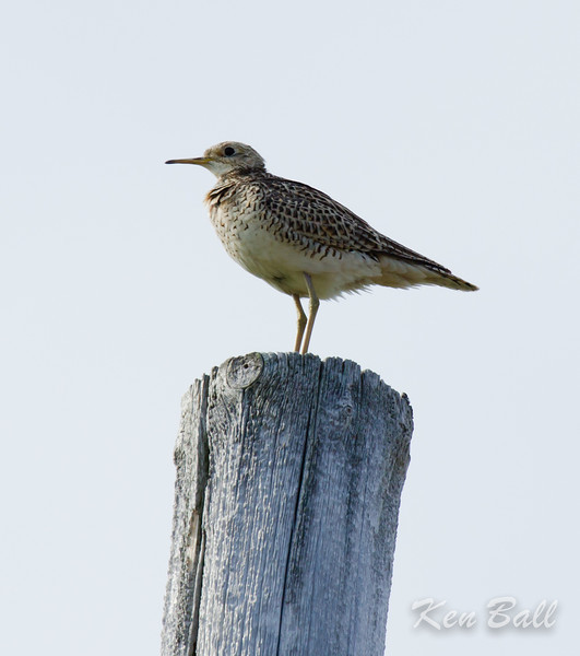 Old Milford Road, Prince Edward Point, upland sandpiper: Bartramia longicauda