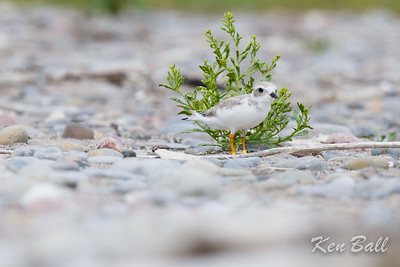 Darlington Provincial Park, piping plover: Charadrius melodusThis is a site of a protective breeding program on the beach which produced about 13 chicks from 2 protected nests.
