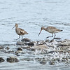 Giroux Quarry, Hudsonian godwit: Limosa haemastica<br /> On the left is a molting fall adult. On the right is a juvenile.