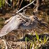 Constance Bay, Wildlife, Wilson's snipe: Gallinago delicata