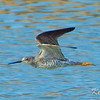 avalon south pond, flying, short-billed dowitcher: Limnodromus griseus