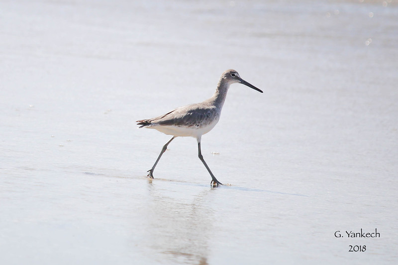 Willet, Tringa semipalmata<br /> <br /> Imperial Beach, CA, USA