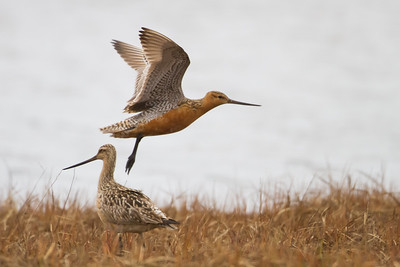 Bar-tailed Godwit - Nome, AK, USA