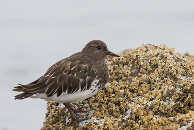Black Turnstone - Half Moon Bay, CA, USA