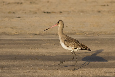 Black-tailed Godwit - Aswan, Egypt