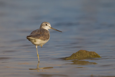 Common Greenshank - Ameenpur Lake, Hyderabad, India