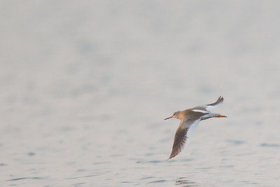 Common Redshank - Record - Ameenpur Lake, Hyderabad, India