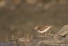 Common Sandpiper - Maharashtra, India