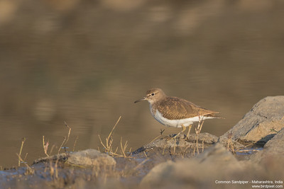 Common Sandpiper - Maharashtra, India