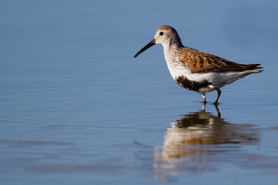 Dunlin in breeding plumage - Alviso, CA, USA