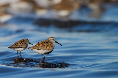 Western Sandpiper (left) and Dunlin (right) - Alviso, CA, USA