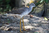 Greater Yellowlegs - Tobago