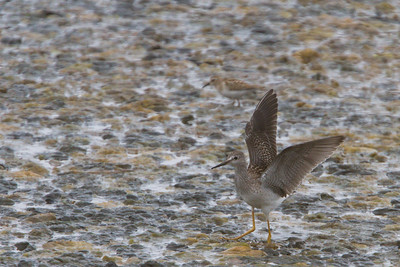 Greater Yellowlegs - Alviso, CA, USA