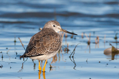 Greater Yellowlegs - Lodi area, CA, USA