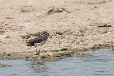 Green Sandpiper - Kutch, Gujrat, India