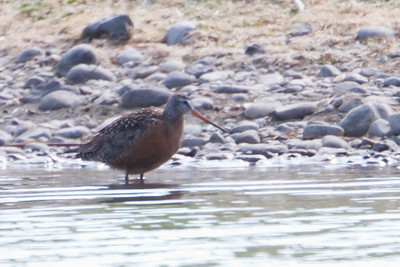 Hudsonian Godwit - Record - Anchorage, AK, USA