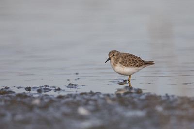 Least Sandpiper - Mountain View, CA, USA