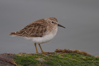 Least Sandpiper - Point Richmond, CA, USA