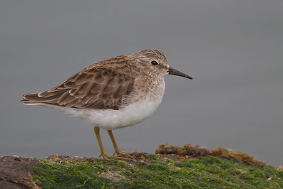 Least Sandpiper - Point Richmond, CA