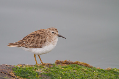 Least Sandpiper - Richmond, CA, USA
