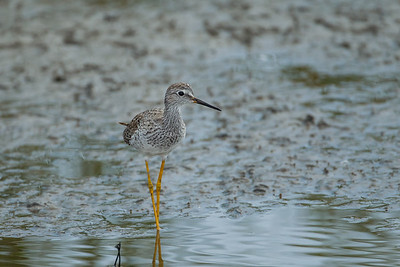 Lesser Yellowlegs - South Padre Island, TX, USA