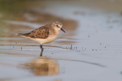 Little Stint - Record - Ameenpur Lake, Hyderabad, India
