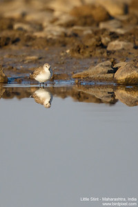 Little Stint - Maharashtra, India
