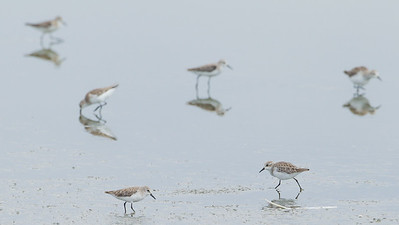 Little Stints - Lake Nakuru Naional Park, Kenya