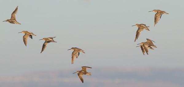 Long-billed Dowitchers in flight - Foster City, CA, USA