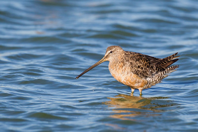 Long-billed Dowitcher - Loral angle, rufous coloration, indented primaries - Redwood Shores, CA, USA