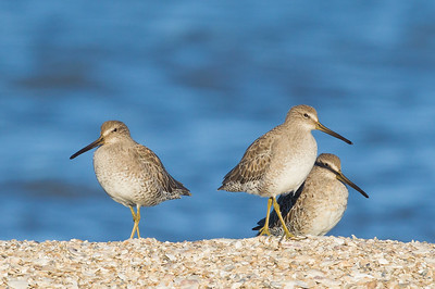 Long-billed Dowitcher - Foster City, CA, USA