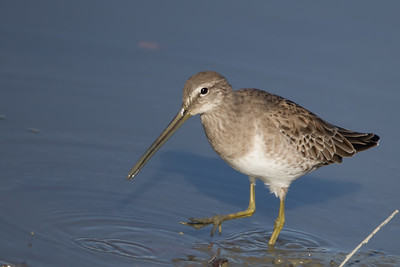 Long-billed Dowitcher -  Bedwell Bayfront Park, Menlo Park, CA, USA