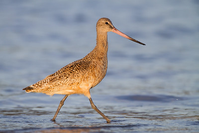 Marbled Godwit - Pillar Pt. Harbor, Half Moon Bay, CA, USA