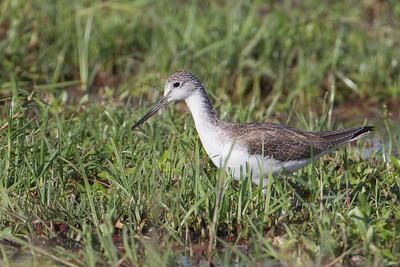 Marsh Sandpiper - Amboseli National Park, Kenya