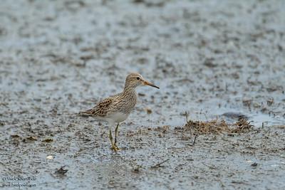 Pectoral Sandpiper - South Padre Island, TX, USA