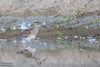 Pectoral Sandpiper - Half Moon Bay, CA, USA
