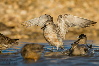 Red Knot - Foster City, CA, USA