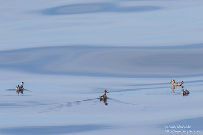 Red Phalarope - Off Half Moon Bay, CA, USA