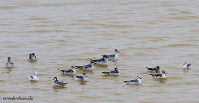 Red-necked Phalaropes swimming