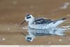 Red-necked Phalarope - Half Moon Bay, CA, USA